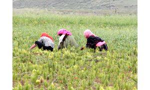 チベット野草