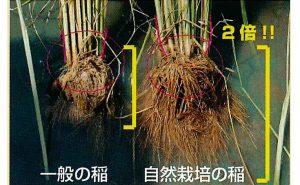 木村式自然栽培と一般の稲との根っこの違い